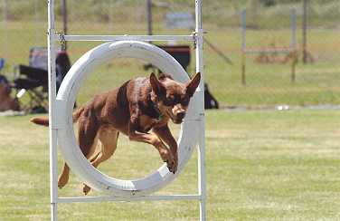 Noonbarra Atilla - Flyball Frisbee Agility: Australian Working Kelpies and Dog Sports