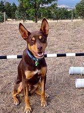 Noonbarra Atilla: Flyball Frisbee Agility: Australian Working Kelpies and Dog Sports
