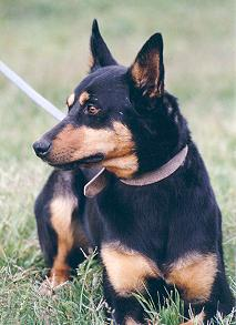 Do Kelpies Shed Black And Tan Kelpie Dog Breeds Picture