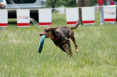 Noonbarra Lady in Japan - Flyball Frisbee Agility: Australian Working Kelpies and Dog Sports