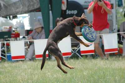 Noonbarra Lady in Japan- Flyball Frisbee Agility: Australian Working Kelpies and Dog Sports