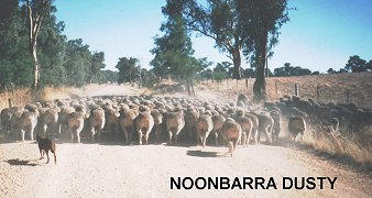 NOONBARRA DUSTY DROVING A FEW HUNDRED SHEEP